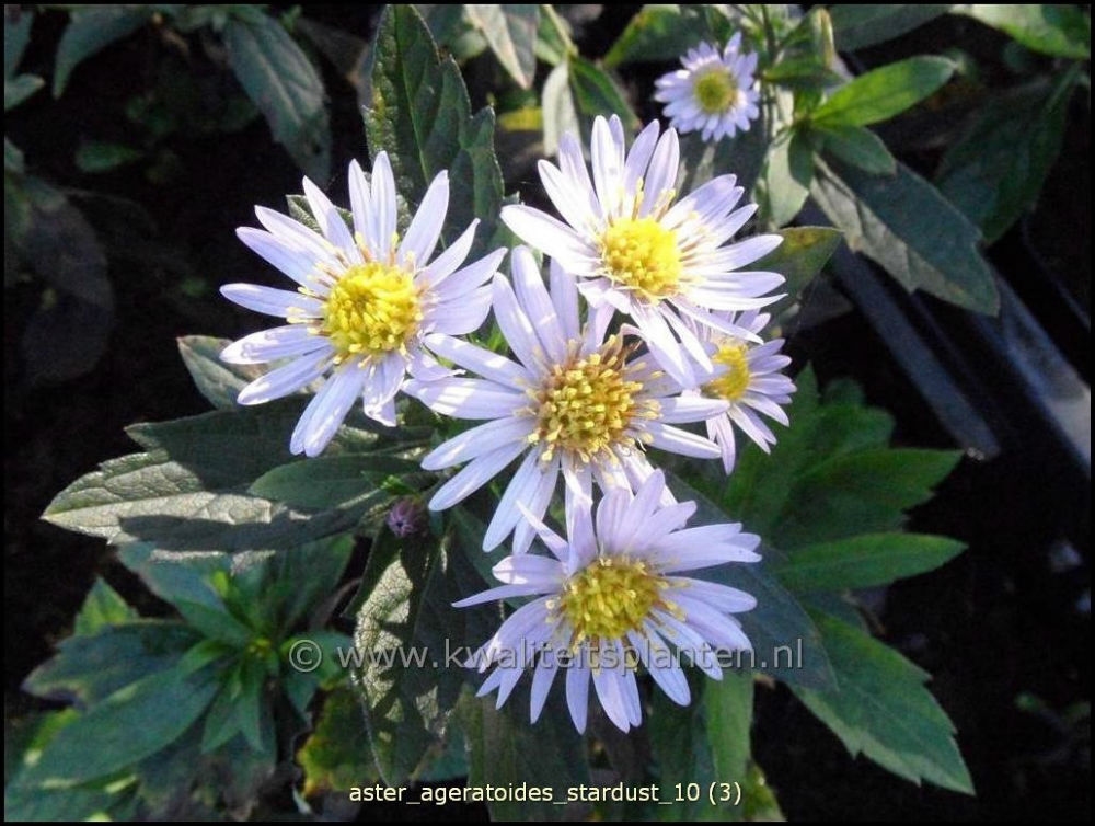 Aster ageratoides Stardust (Aster) - Image 1