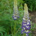 Lupinus The Governor (Lupine) - Image 1