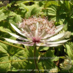 Astrantia major Pink Sensation (Zeeuws knoopje)