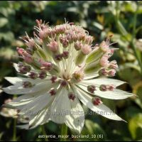 Astrantia major Buckland (Zeeuws knoopje)